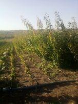 Грецкий орех и плодовые деревья