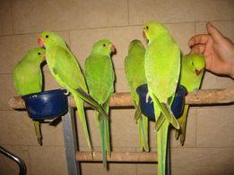 Ожереловые попугаи птенцы разных цветов