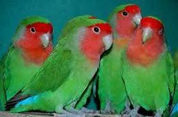Неразлучники(Love Birds) попугаи разного окраса.