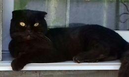 Вязка шотландский вислоухий красавец шоколадного цвета ищет себе кошку