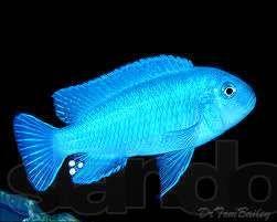 Зебра голубая Metriaclima Малавийские Цихлиды Аквариумные рыбки