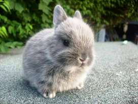 Looking for a grey Dwarf Bunny