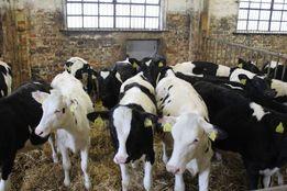 Krajowe byczki pięć sztuk mieszańce krzyżówki mięsno-mleczne