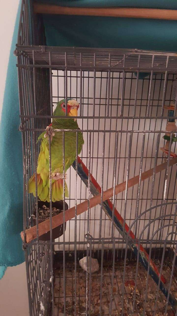 White fronted amazon for sale 0