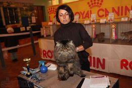 Персидский кот , Чемпион Украины ,хочет познакомиться.