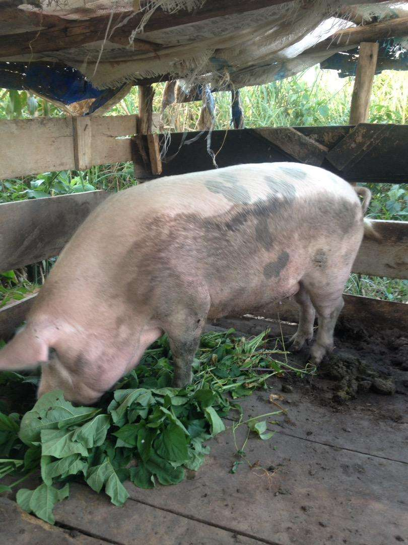Ush 750000 Sow pig for sale 0