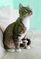 Отдам полосатого котенка, мальчик, 1 год, кастрирован