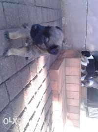 Image of Mix breed pups for sale