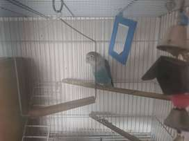 Selling male Lovebird and cage