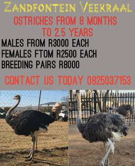 Are you looking for ostriches?  We Can help