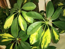 Шефлера Герда (в горшке), вазон, растение, ТОРГ