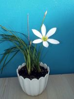 Луковицы цветка зефирантес