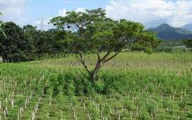Moringa Oleifera Seeds For Sale