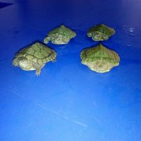 Красноухая черепаха(лат. Trachemys scripta)