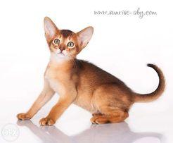Sunrise - питомник абиссинских кошек