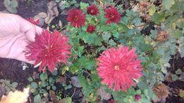 Хризантемы многолетние кустовые