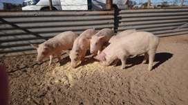 46 Pigs for sale