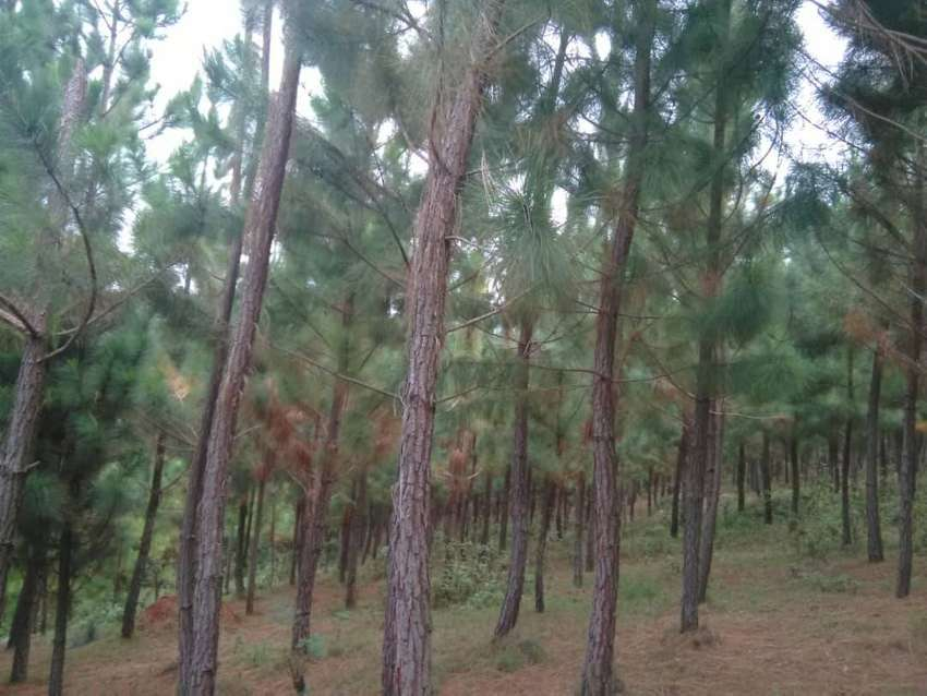 15.5 acres of land with trees for sale in Butiiti, Kyenjojo district. 0