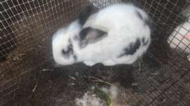 Very Urgent sale: Rabbits