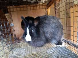Adult female bunny