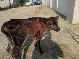 Bottle Calves available weekly