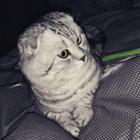 Вязка. Чистокровный Шотландский вислоухий мраморный кот. Scottish Fold