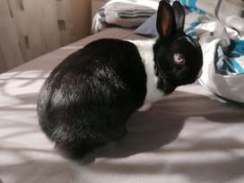 Dwarf rabbit with cage for sale