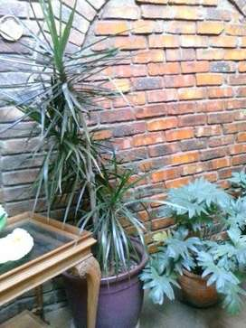 2m palm in pot for sale