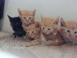 Domestic kittens for sale