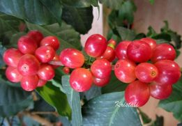 Кофе Арабика, дерево плодоносящее, 14 летний