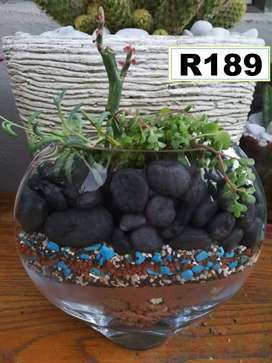 Stunning choice of potted plants for sale . Pg 8. Bloubergsands