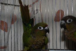 Говорящий попугай в семью для детей Пиррура Буроухий , Пиррурка