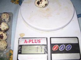 Перепела мясо-яичных пород, цыплята яйцо инкубационное не дорого