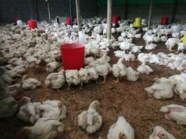 Broilers available