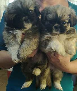 Pikengese puppy's for sale