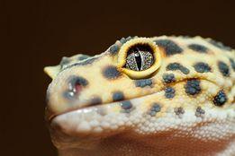 Продам леопардовых гекконов эублефара