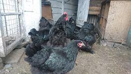Кохинхины чёрные подрощенные цыплята 1,3 недели. Инкубационное яйцо