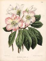 KWIATY 1868 r. I reprodukcje XVIII w. grafik 30x20 cm