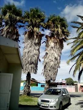 Palm Trees for sale R25000
