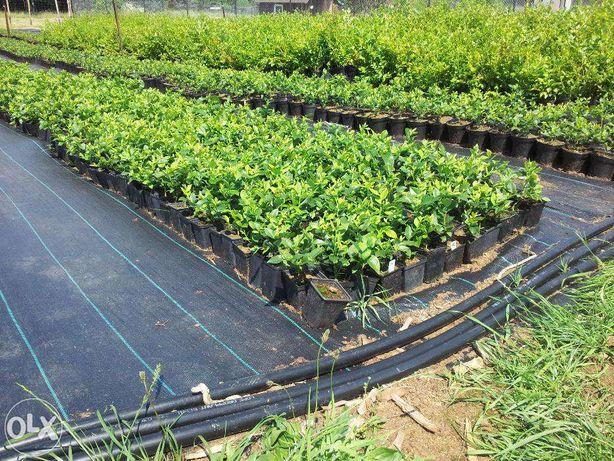 Sadzonki borówki Bluecrop, Borówka amerykańska , Wysoka, CAC Rybnik - image 2