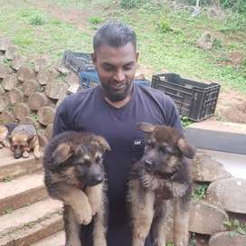 Thoroughbred German Shepard puppies