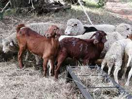Boer goat females