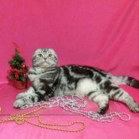 Вязка шотландского вислоухого кота!