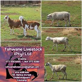 Slaughter goat's and sheep for sale at Tshwane Livestock
