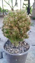 кактус цериус перуанский и др