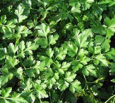 Семена петрушки корневой ,листовой и кучерявой !