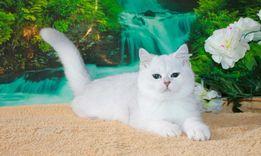 Кот британской шиншиллы на вязку