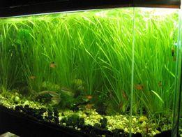 Валиснерия, аквариумные растения