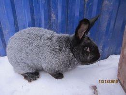 Продам кроликов ПС ( Полтавское серебро ) молодняк # Кролі , срібло