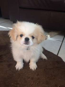 Pekignese puppy for sale